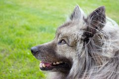 Detail of head of german spitz - wolfspitz. In the foreground is detail of head of keeshond german spitz wolfspitz on a green background royalty free stock photography