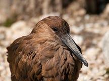 Detail of head of hamerkop bird Royalty Free Stock Photos
