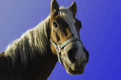 Detail of head of horse with light mane Royalty Free Stock Image