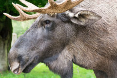 Detail of the head a male moose, Alces alces. Detail of the head of a male elk moose in autumn, Alces alces Stock Photos