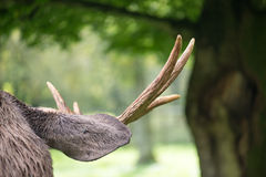 Detail of the head a male moose, Alces alces Royalty Free Stock Photo