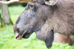 Detail of the head a male moose, Alces alces Stock Photography