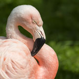 Detail of the head of one pink flamingo. Stock Image