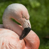 Detail of the head of one pink flamingo. Stock Images