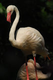 Detail of the head of a pink flamingo Royalty Free Stock Image