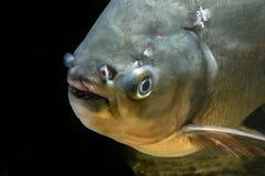Detail of head piranha fish Stock Image