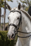 Detail of the head of a purebred Spanish horse Stock Photography