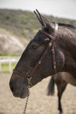 Detail of the head of a purebred Spanish horse Royalty Free Stock Images