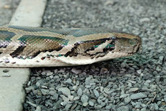 Detail of the head of python Royalty Free Stock Photos