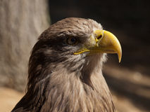 Detail of head sea eagle Stock Images