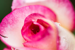 Detail of head of small red rose Stock Image