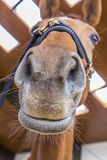 Detail of head of smiling horse Royalty Free Stock Photo