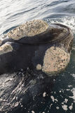 Detail of the head of the whale Stock Image