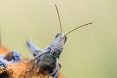 Detail of head white grasshopper (Chrysochraon dispar) Stock Photography