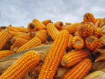 Corn - Harvesting Detail Royalty Free Stock Photography