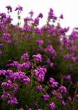 Heather. Detail on heather in Pentland Regional Park near Edinburgh, Scotland Stock Photography