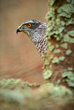 Detail of hidden head portrait, bird of prey Goshawk, sitting on the branch in the fallen larch forest during autumn, hidden behin Royalty Free Stock Photography
