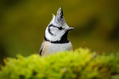 Detail hidden portrait of bird, Crested Tit, black and yellow songbird sitting on the nice lichen tree branch with, little bird in Stock Photos