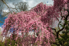 Detail of a Higan cherry tree in full blossom Stock Images