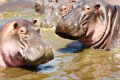 Hippos looking at camera Stock Photography