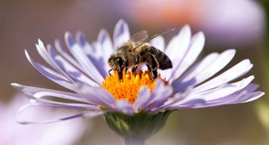 Detail of honeybee sitting on the violet flower Royalty Free Stock Photos