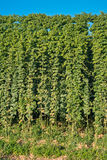 Detail of hop field befor harvest Royalty Free Stock Photo