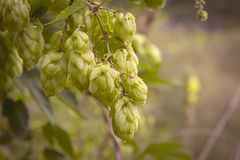 Detail of a hop plant Royalty Free Stock Photo