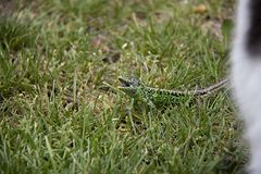 Sand Lizard in the grass. Detail of horrifying sand lizard during the fight with kitten royalty free stock images