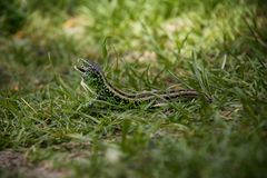 Sand Lizard in the grass. Detail of horrifying sand lizard stock images
