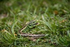 Sand Lizard in the grass. Detail of horrifying sand lizard Stock Photos