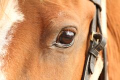 Detail of horse eye Stock Photo