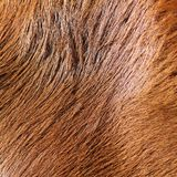 Detail of horse fur Stock Image