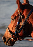 Detail of horse head, at beach Royalty Free Stock Photos