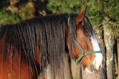 Detail of huge beautiful horse. Detail of huge beautiful brown horse in New Zealand Royalty Free Stock Photos