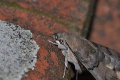 Hummingbird hawk moth. Detail of hummingbird hawk moth resting stock photography