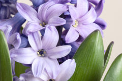 Detail of hyacinth Stock Image