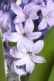 Detail of hyacinth Royalty Free Stock Images
