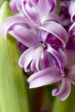 Detail of hyacinth Royalty Free Stock Photography