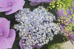 Detail of hydrangea chinensis flowers Royalty Free Stock Images