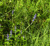 detail of Hyssopus officinalis plant in a meadow royalty free stock image