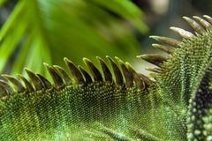 Detail of iguana's crest Royalty Free Stock Image