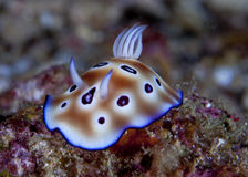 Detail image of Nudibranch Risbecia tyroni Stock Photo