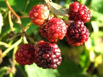 Detail of immature blackberries Stock Image