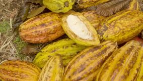 Cocoa Fruits Piled On The Ground. Detail Inception Shot Of Cocoa Fruits Piled On The Ground stock video footage