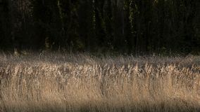 Detailed intimate landscape image of reeds on riverbank in sunli Royalty Free Stock Images