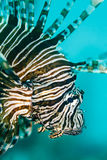 Detail of Invasive species Lion Fish Pterois volitans Royalty Free Stock Images