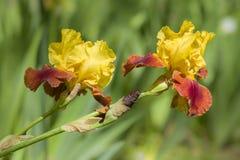 Detail of Iris flower Stock Photography