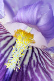 Detail of iris germanica. Violet with its stamens and pollen in the foreground Royalty Free Stock Photos