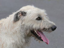 The detail of Irish Wolfhound Royalty Free Stock Image