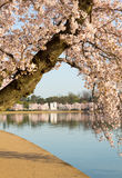 Detail of japanese cherry blossom flowers Royalty Free Stock Image